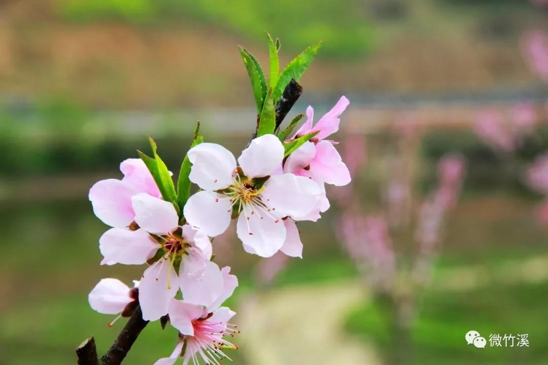 老家风光:桃花岛上桃花开,如织游客踏春来!