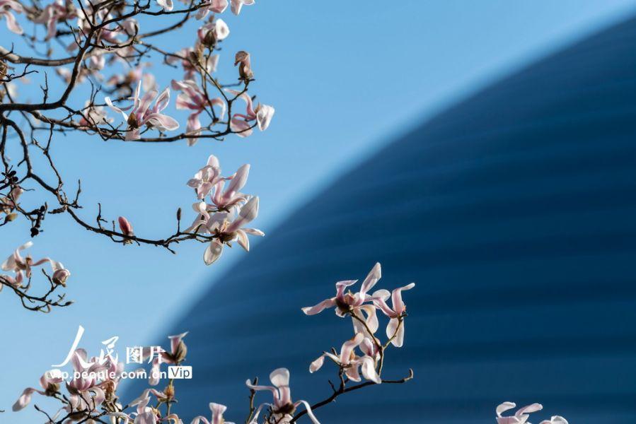 北京:玉兰花开 春意盎然